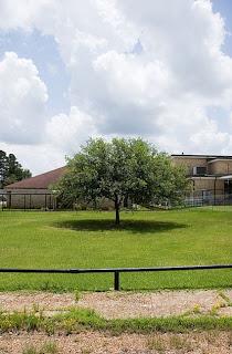 The tree at Jena High School, Jena, Louisiana. Originally uploaded by whileseated