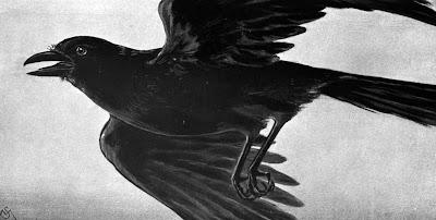 The American Crow (Corvus brachyrhynchos)