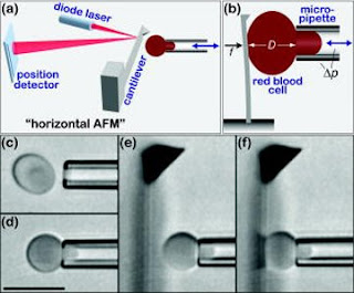 Scientists use red blood cell to calibrate atomic microscope