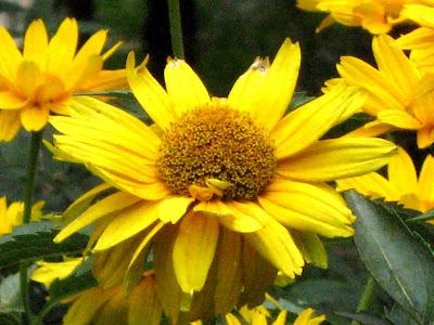 Ox-Eye Daisy False Sunflower (Rudbeckia hirta)