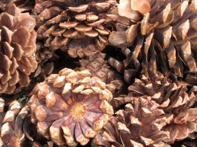 Pine Cones (pinecones) Two Views