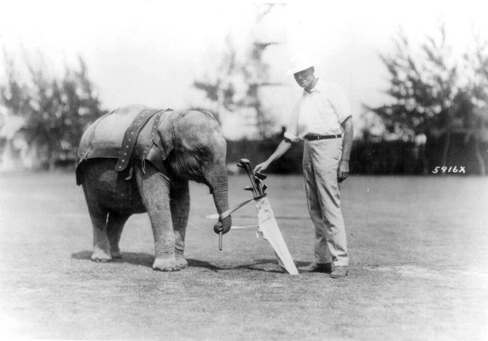 The only elephant caddie in captivity on the links at Miami Fl. where ...