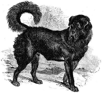 Tibetan Mastiff The Thibet Dog