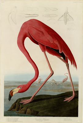 American Flamingo from The Birds of America