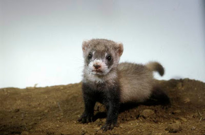 Black-Footed Ferret, by Jessie Cohen.  Smithsonian Institution National Zoo.