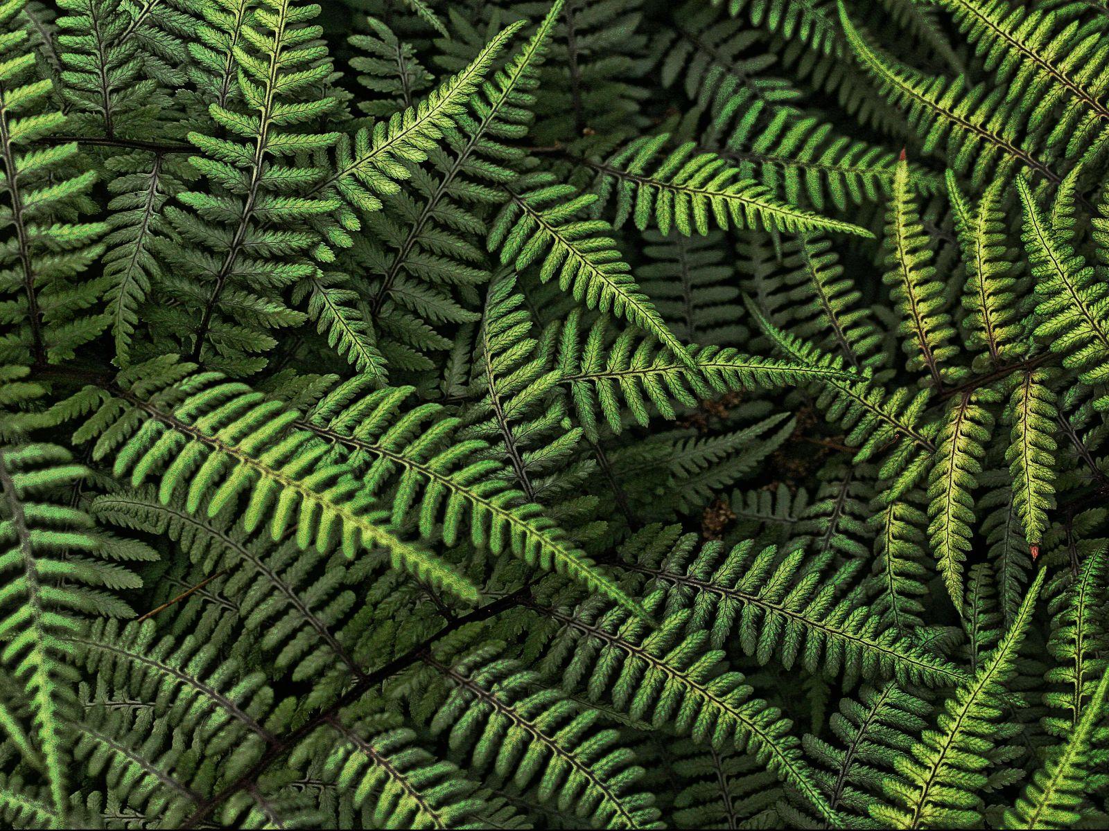 fern plant desktop wallpaper