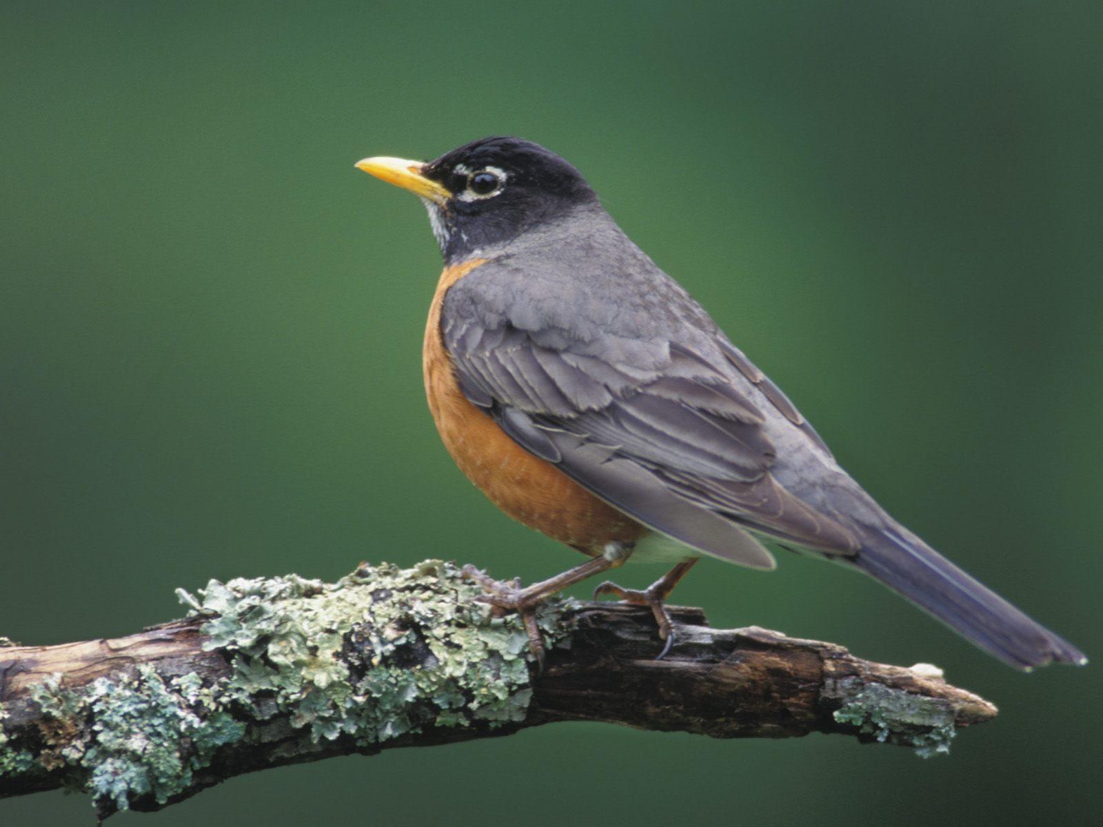 http://1.bp.blogspot.com/_TcwbPuj2SZ0/TFMgA5woN8I/AAAAAAAARvA/2CUdUQFtWMs/s1600/American-Robin-Kentucky.jpg