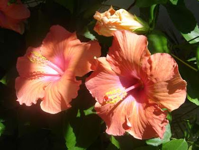 Fond d'ecran: hibiscus orange