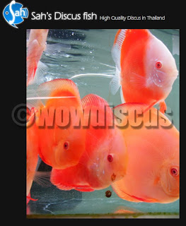 Wow discus tips tips on keeping discus fish healthy and for Keeping discus fish