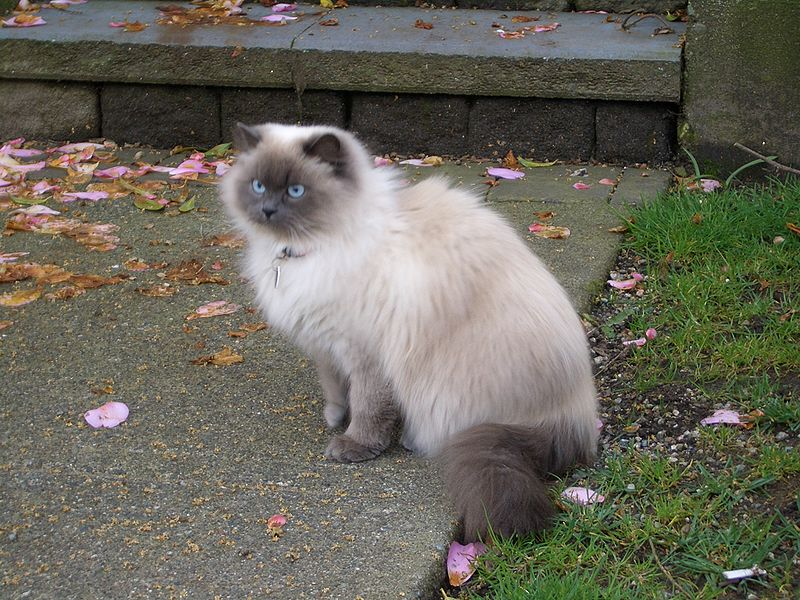 Cats and Kittens: Himalayan (cat)