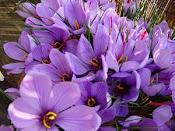 Kashmiri Saffron Flower
