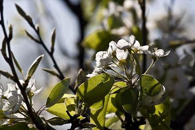 Jumilla Floración de los perales. Pguardio