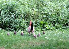 Free Range Hen with Chicks