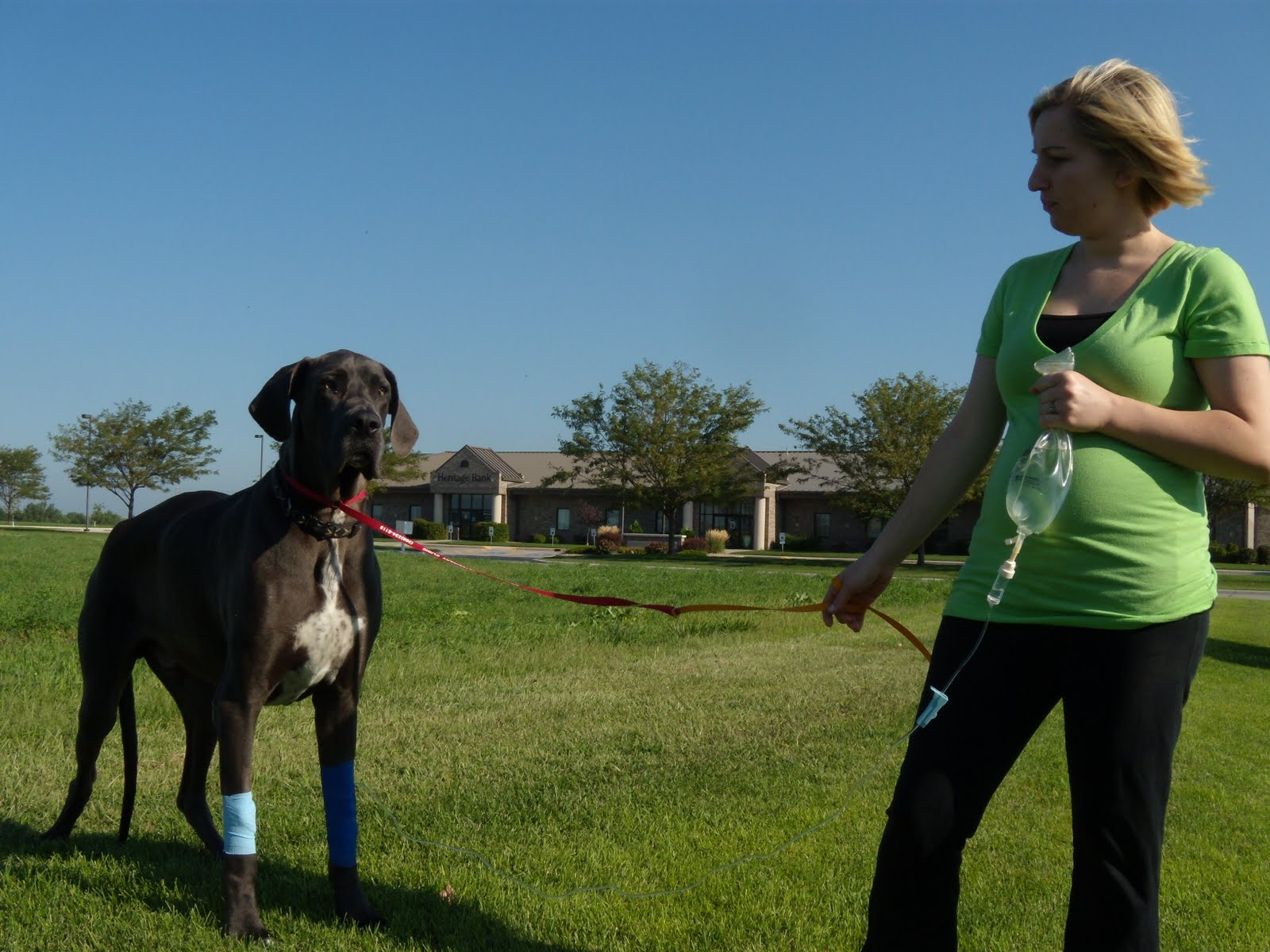 Stomach Surgery For Giant Breed Dogs