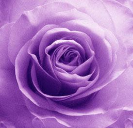 Purple roses primarily stand