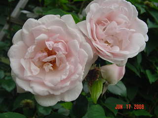 [Rosa+'Sharifa+Asma'.JPE]