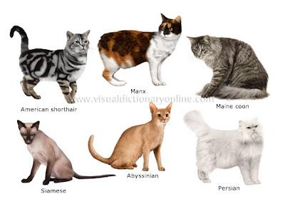 Popular Cat Breeds In Usa