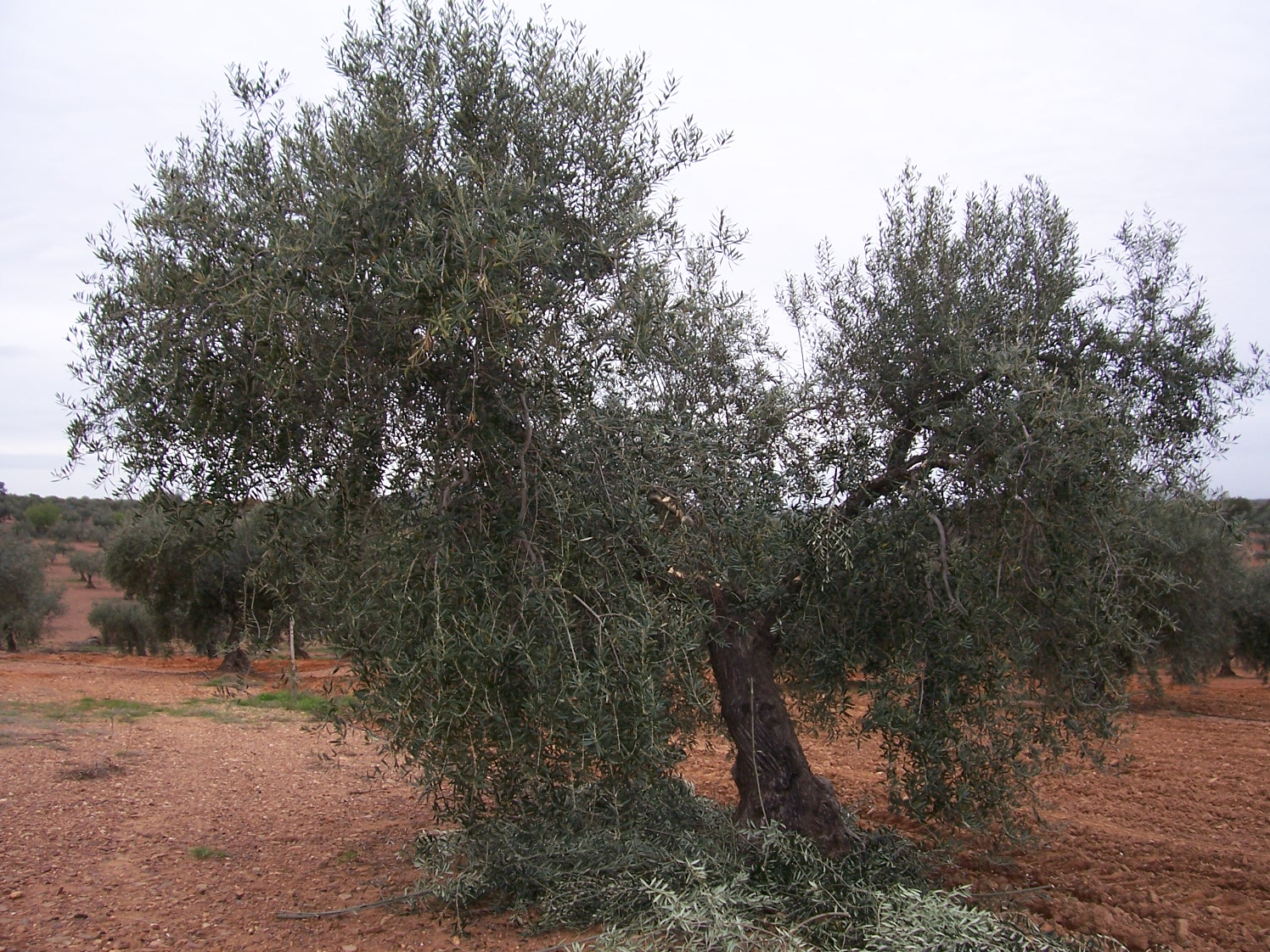 El mundo del olivar extremadura la junta impartir cursos - Poda del cerezo joven ...