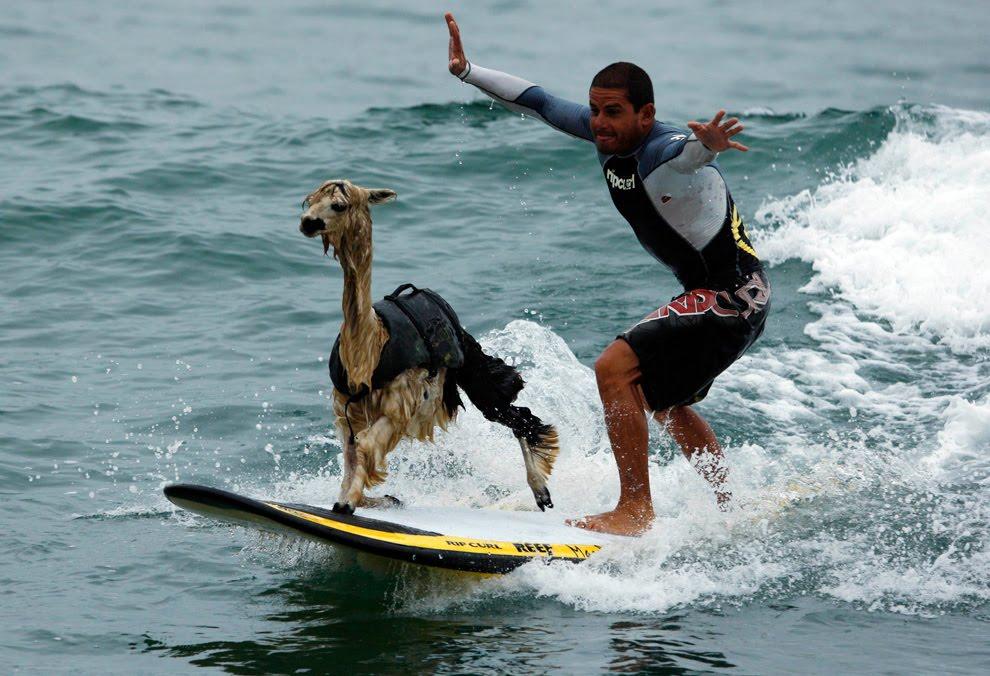 surfing_alpaca.jpg