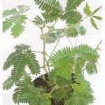 اجمل عشر انواع من النبات على وجه الارض بالصور sensitiveplant.jpg