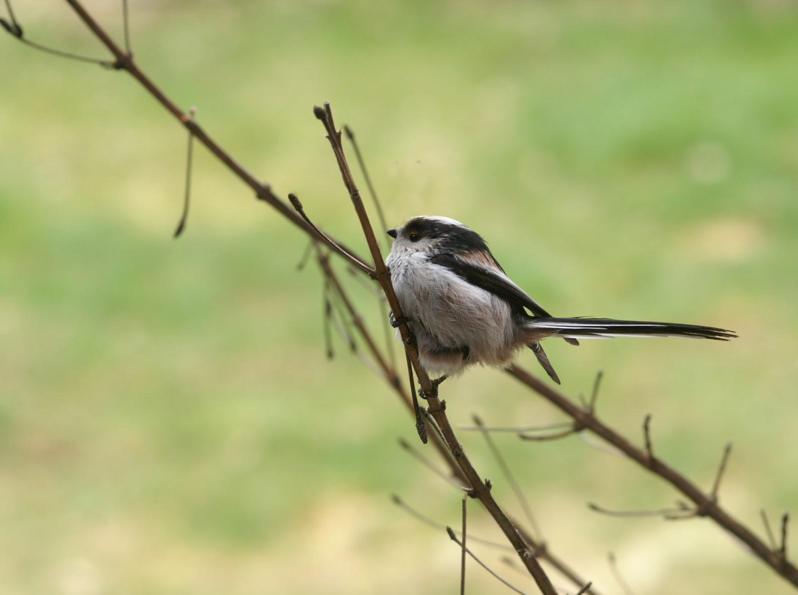 Nature et paysages les oiseaux for Oiseaux des jardins belgique