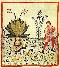 Mandragora officinarum (Mandrake)