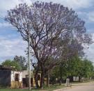 Lapacho lila