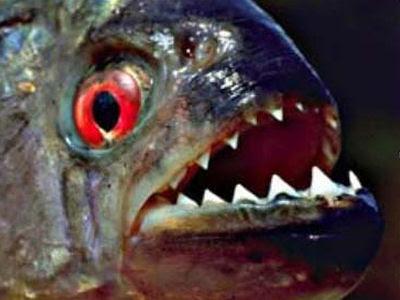 All Aquarium Fish: Piranha Fish