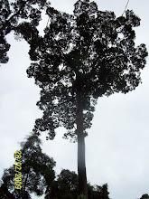 pokok danum