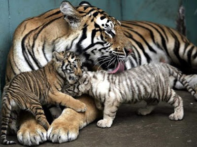 Tiger with Baby Tigers Image