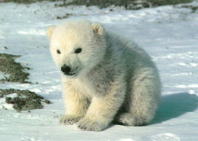 Cute Polar Bear Free Video pics