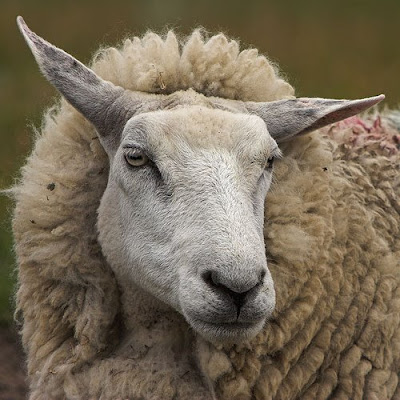 Animals - Sheep Face Picture