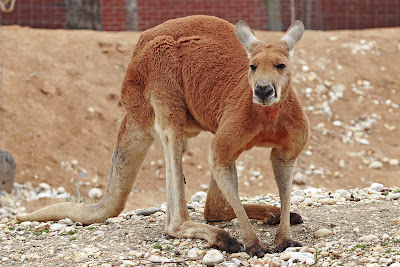 Mammal-Red kangaroo in Melbourne zoo Photo