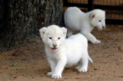White Lion Cubs Photo