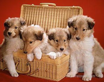 04 Collie Puppy - Collie Dog Cute Wallpaper