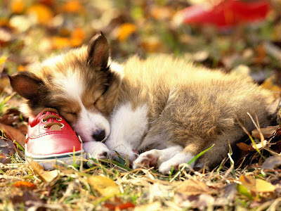 Lovely Collie Puppy - Collie Dog Wallpaper