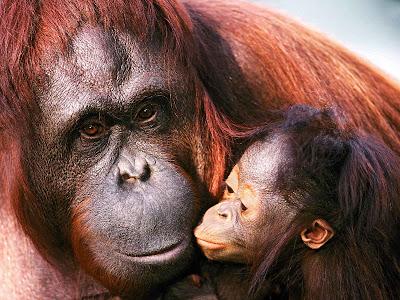 Gorilla with Baby Gorilla wallpaper