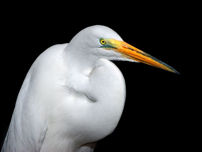 White Heron Picture
