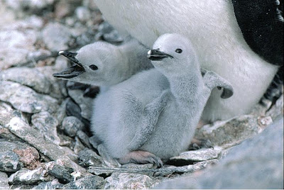 Chinstrap Baby Penguins Photo