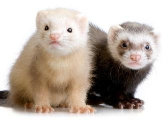 Baby Ferrets Picture