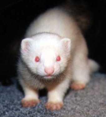 Baby ferret Pics