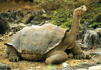 Galapagos tortoise-Tortoise Wallpaper