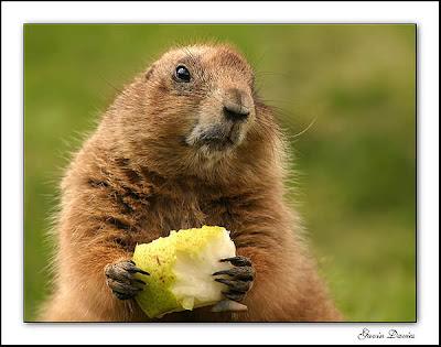 Baby Marmot - Baby Marmot Picture