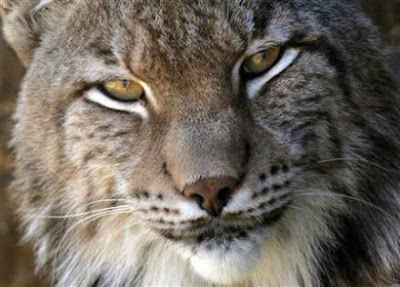 Closeface of Iberian Lynx Picture