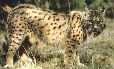 Female Iberian Lynx Picture