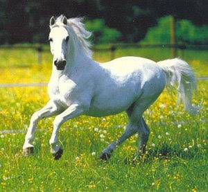 Riding White Horse - White Horse Picture