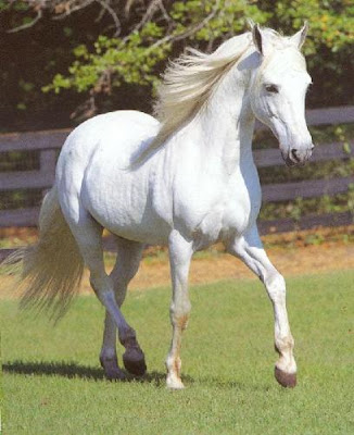 White Horse Beautiful Cute White Horse Wallpaper