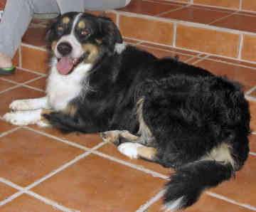 English Shepherd Dog Picture