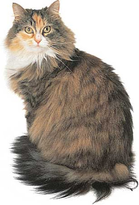 Cats Maine Coon Picture