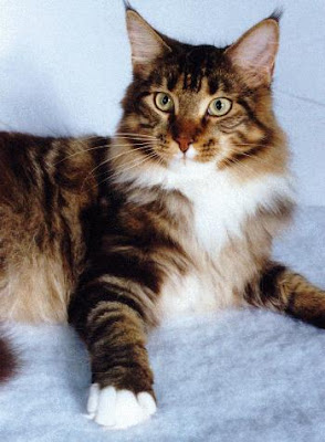 Maine Coons Photo